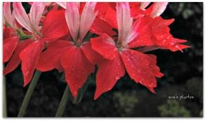 Geranium in the rain
