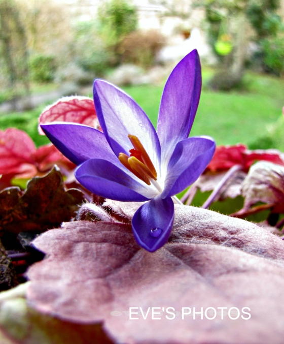 The first crocus - here i have laid it on top of the window box to photograph