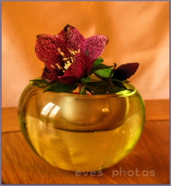 Noel rose in glass candle holder.. Taken this week indoors.