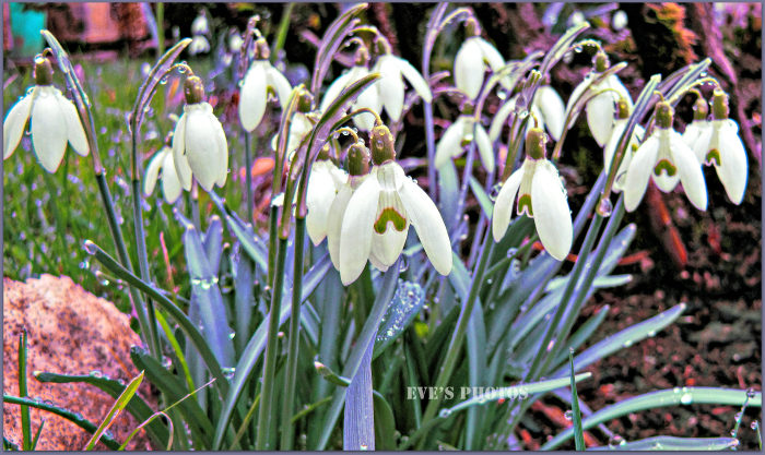 Snowdrops growing in the garden