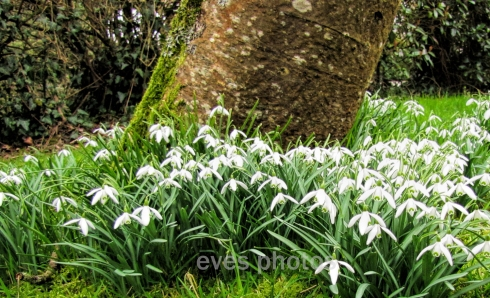under the tree -snowdrops in drifts