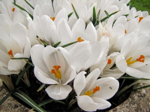 large white crocus