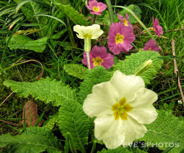 Early Spring Primroses