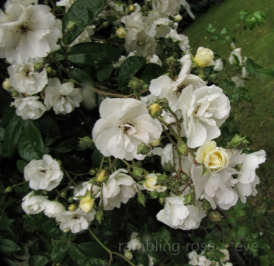 Rambling Rector, growing over the arch in the garden...