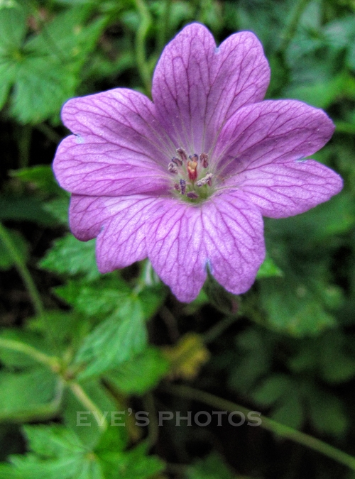 wild geranium in my garden