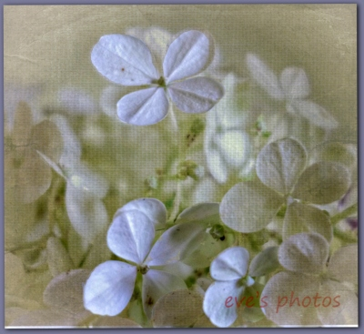 White Hortensia taken inside, used with a texture.