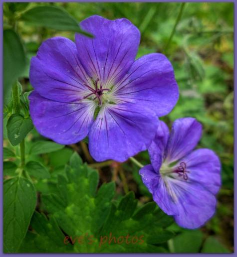 Wild Geranium in full bloom