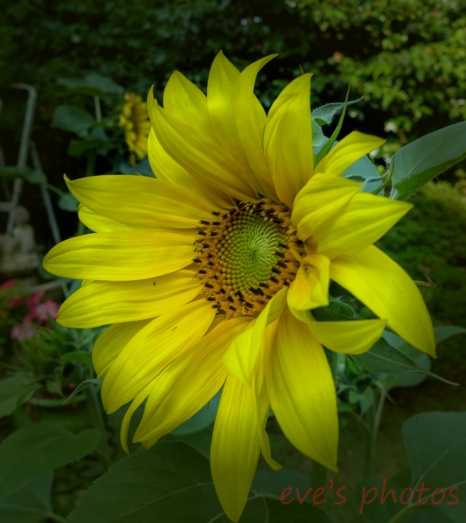 sunflower in the morning. taken just as it bloomed