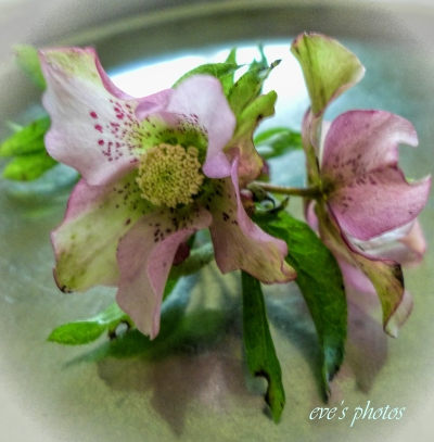 Hellebore on a silver tray