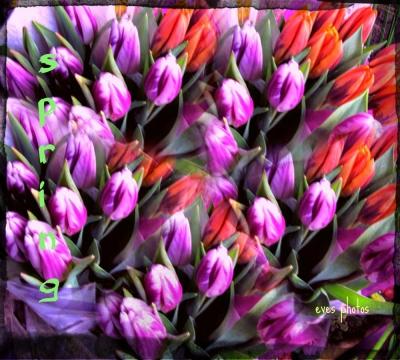 tulips3999