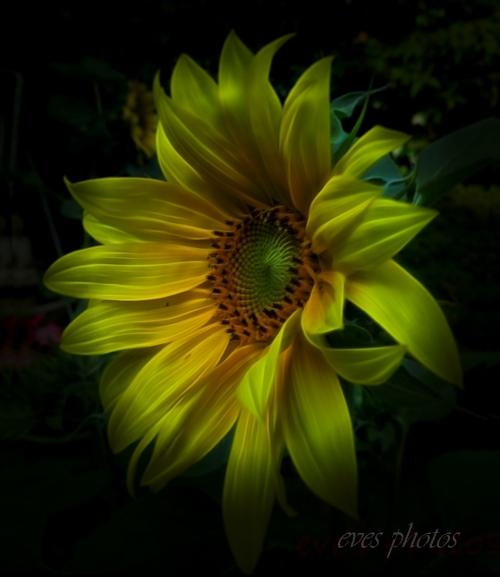 Sunflower on a dark texture