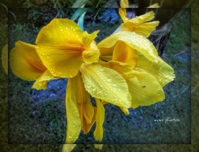 Yellow Iris from last year