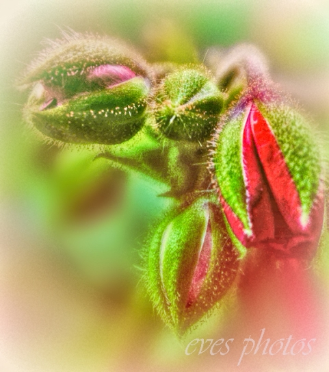 geranium bud