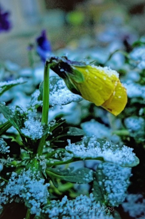 Lumix XL7 - The viola in the frost