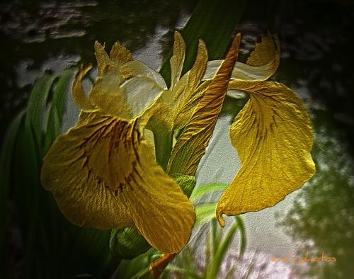 Iris in Spring time