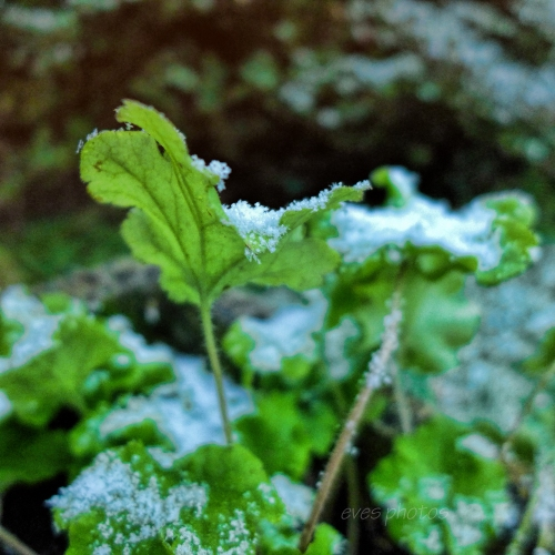 frost on shrub leaves