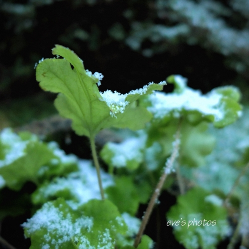 Leaves in the frost No. 2